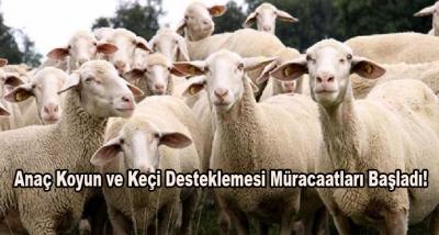 Anaç Koyun ve Keçi Desteklemesi Müracaatları Başladı!