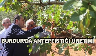 Burdur'da Antep fıstığı Üretimi