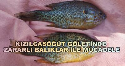 Kızılcasöğüt Göletinde Zararlı Balıklar İle Mücadele